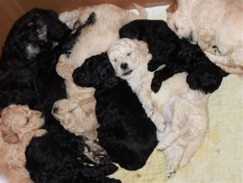 cheap goldendoodle puppies for sale mini goldendoodle puppies sale san diego breeds picture