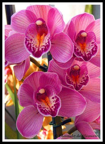 angker band bulan dan bintang 20 jenis bunga anggrek khas indonesia ini cocok untuk budidaya