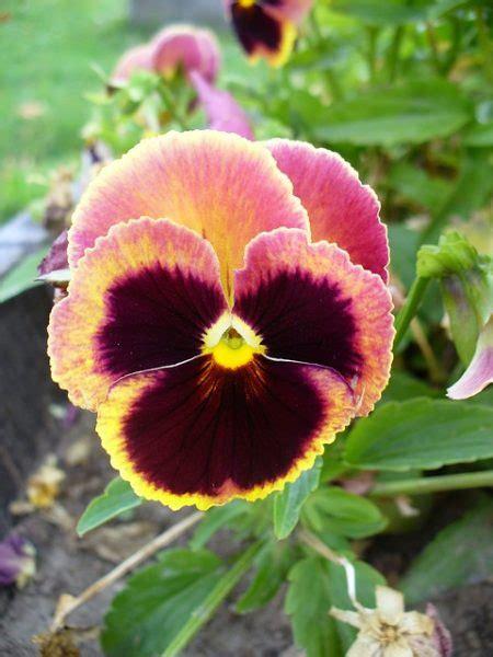viola fiore viola tricolor