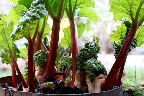 grow rhubarb  home