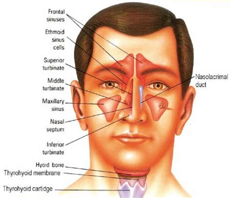 Sinus Resdung sinusitis and some rubrics homoeoscan homoeopathy