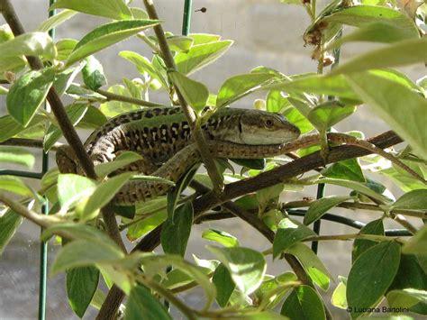 lucertole in casa come allontanare le lucertole da casa great serpente