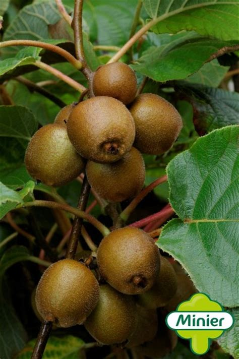 kiwi fruit trees for sale kiwi minkigold 169 for sale buy fruit trees from