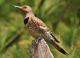 northern flicker identification all about birds