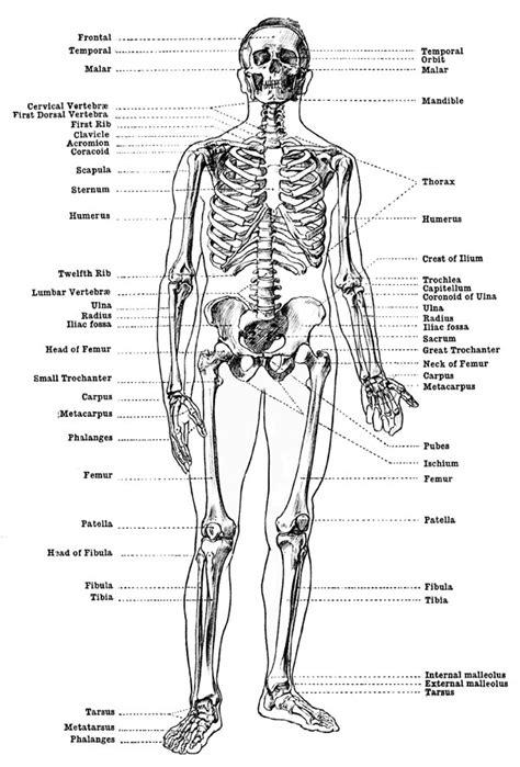 Berühmt Labeled Skeleton Model Galerie - Anatomie Von Menschlichen ...