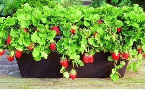 coltivare fragole in vaso come coltivare le fragole in vaso fai da te