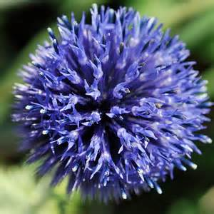 Types Of Garden Vegetables - australian seed echinops ritro violet
