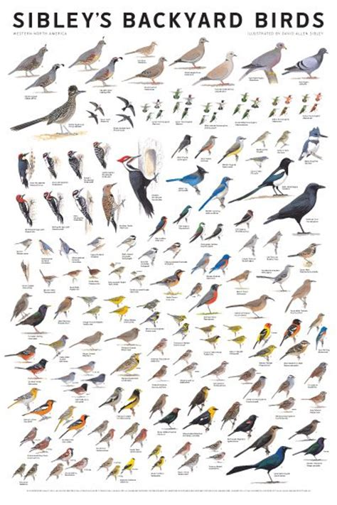 backyard bird identification chart sibley s bird calendars and posters bird identification