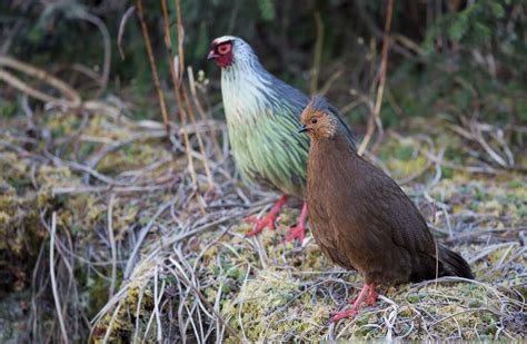 how to a for pheasant blood pheasant birds pictures