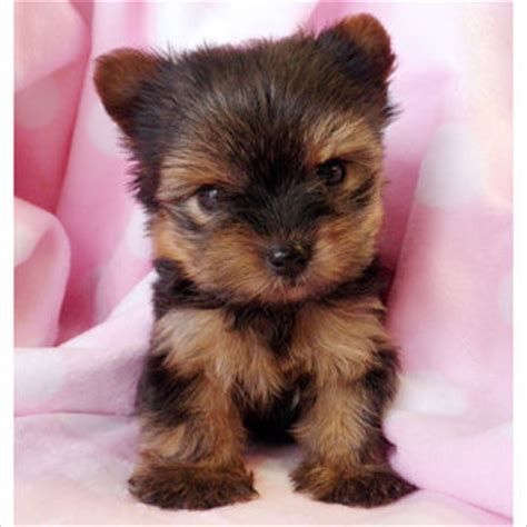 teacup yorkies south florida teacup yorkies for sale in south florida from teacupspuppies