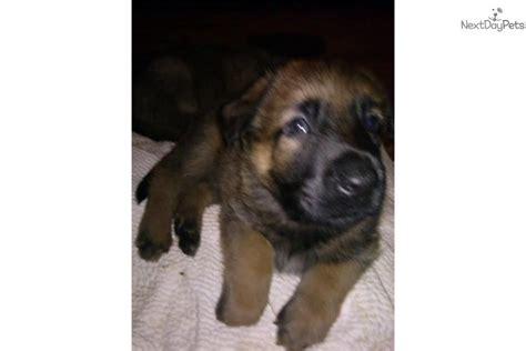 shepinois puppies for sale belgian shepherd malinois puppy for sale near catskills new york 66027792 ca31