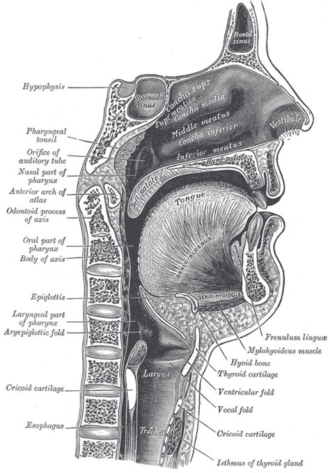 three sections of the pharynx conducting zone boundless anatomy and physiology