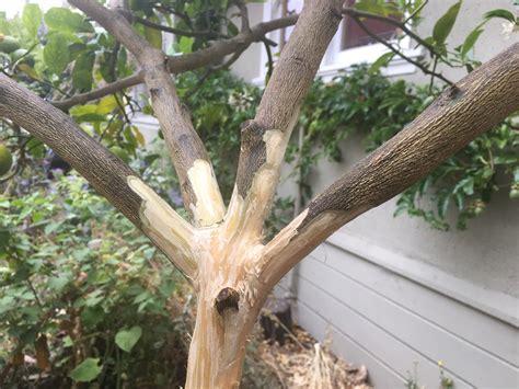 tree pictures the citrus help my citrus tree