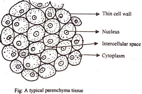 parenchyma tissue diagram describe on parenchyma tissue qs study