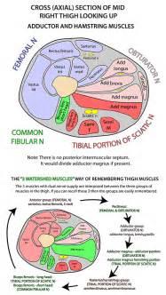 instant anatomy lower limb areas organs thigh