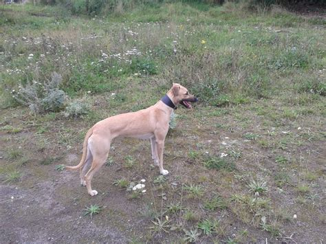greyhound for sale lurcher collie whippet greyhound for sale walsall west midlands pets4homes