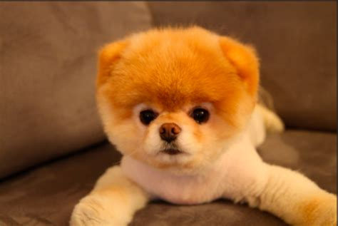 boo the cutest in the world cutest puppies in the world pictures pets world