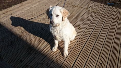 golden retrievers for sale uk golden retriever for sale swindon wiltshire pets4homes