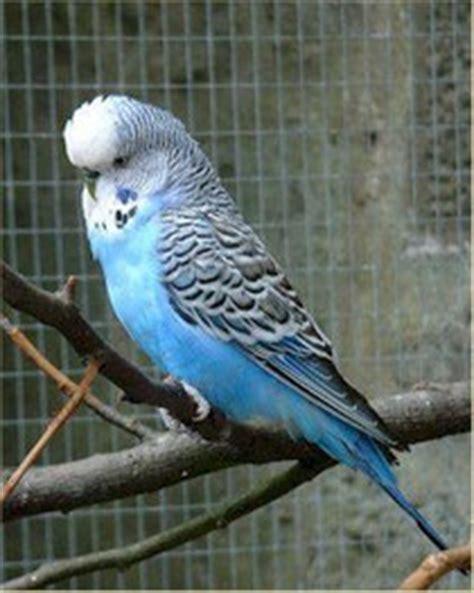 gabbia cocorita cocorite parrotsnews