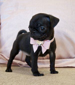 black teacup pug 25 best ideas about black pug on black pug puppies black pug puppy and