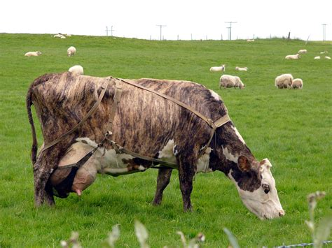 cow breeds animal breeds originating in iceland