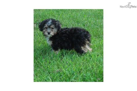 yorkie poo puppies for sale in michigan yorkie poo puppies for sale in grand rapids michigan