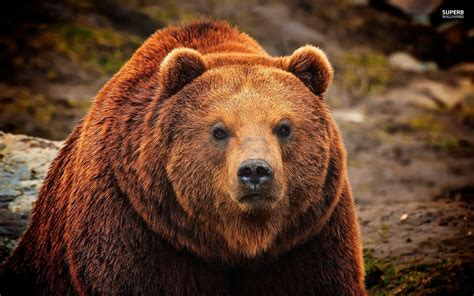 bear s grizzly bears the late bloomer hiker