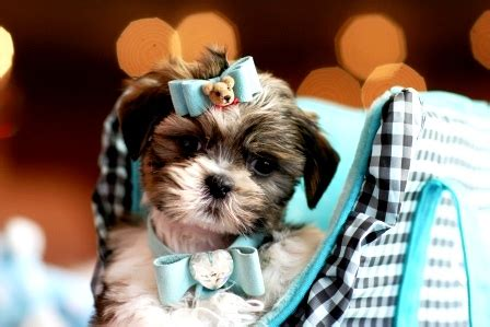 shih tzu puppies for sale in san antonio teacup puppy for sale in