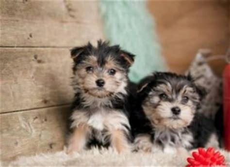 teacup yorkie puppies for sale in macon ga pets macon ga free classified ads