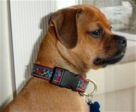 pug pinscher mix muggin breed information and pictures