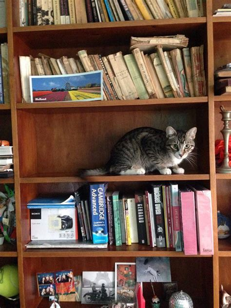 bookshelf cat teh