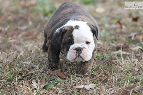 free puppies tacoma wa sold to the guinyard family tacoma washington bulldog puppy for sale near
