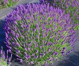 hidcote blue lavender plant 4 quot size pot ebay