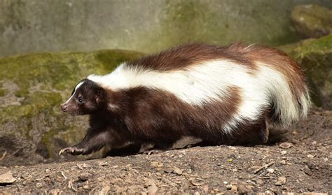 Getting Rid Of Skunks Shed by Humane Skunk Removal Services Toronto Hamilton