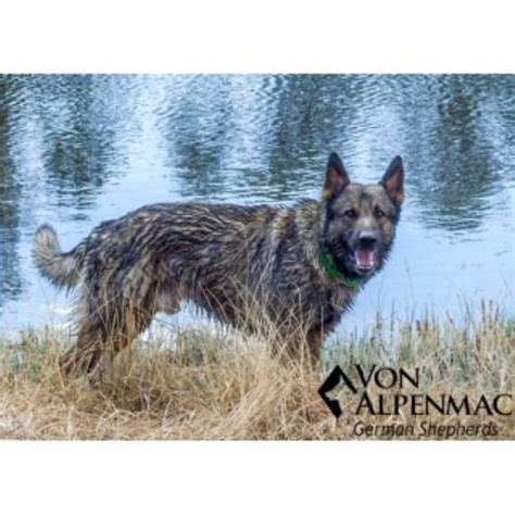 german shepherd puppies colorado springs german shepherd gsd alsatian breeders in colorado freedoglistings