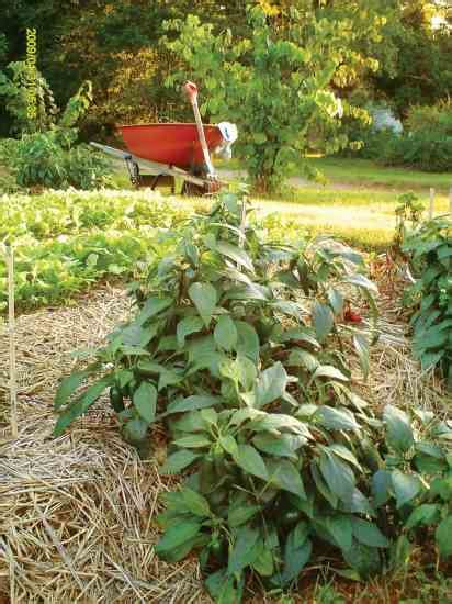 chicken manure fertilizer for the vegetable garden