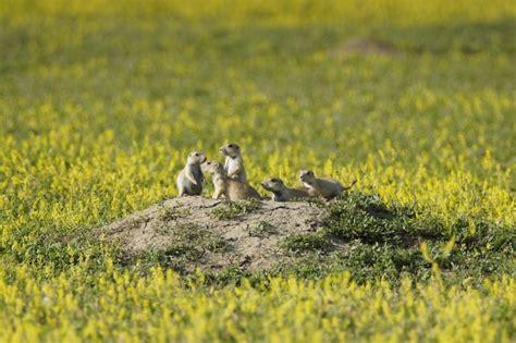 where do prairie dogs live black tailed prairie cynomys ludovicianus wildlife journal junior