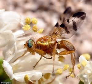 Fruit Fly Infestation Can Plants Think Shrub Makes Complex Decisions To
