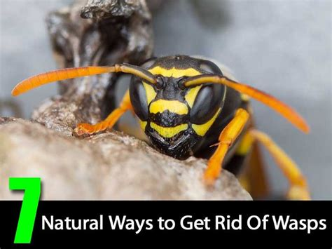 How To Get Rid Of Wasps In Backyard by 25 Best Ideas About Wasp Deterrent On Wasp