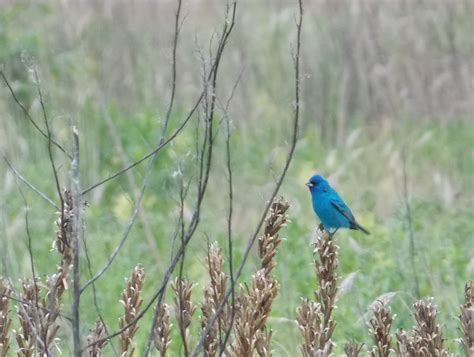 the indigo bunting new in the shop 2013 illustrated calendar great crested flycatcher greg and birds