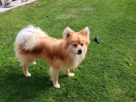 2 month pomeranian puppy large non shedding dogs for children design breeds picture