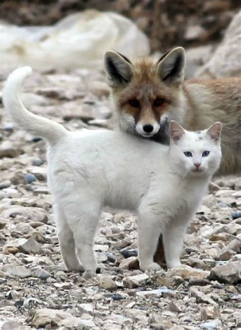 is a fox a or cat 1000 ideas about best friend drawings on easy to draw drawings and