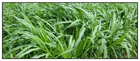 Grass Medicinal Uses by Buntot Pusa Pennisetum Purpureum Grass Xiang Cao