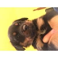 rottweiler puppies for sale in south bend indiana rottweiler breeders in oregon freedoglistings