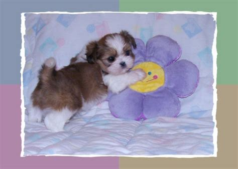 shih tzu puppies for sale in tucson az tiny shih tzu puppies for sale arizona akc shih tzu breeder