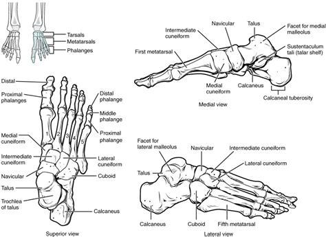 diagram of the foot bones diagram of the foot diagram site