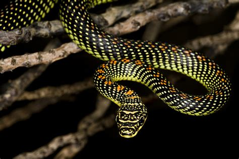 serpenti volanti the paradise tree snake can fly ferrebeekeeper
