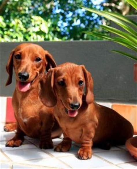 golden retriever rescue perth scotland dachshund breeders perth australia dogs our friends photo