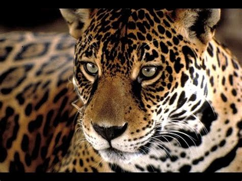 imagenes de la jaguar documental animales en peligro de extincion el jaguar