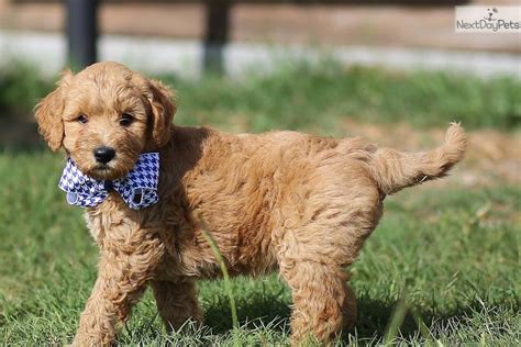 goldendoodle puppy free goldendoodle puppy for sale near atlanta
